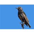 Les oiseaux imiteraient les sonneries des téléphones portables !